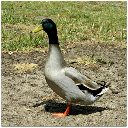 A very friendly duck!